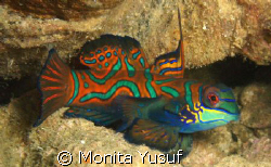 Mandarin .... One of beauty under the sea :) by Monita Yusuf 